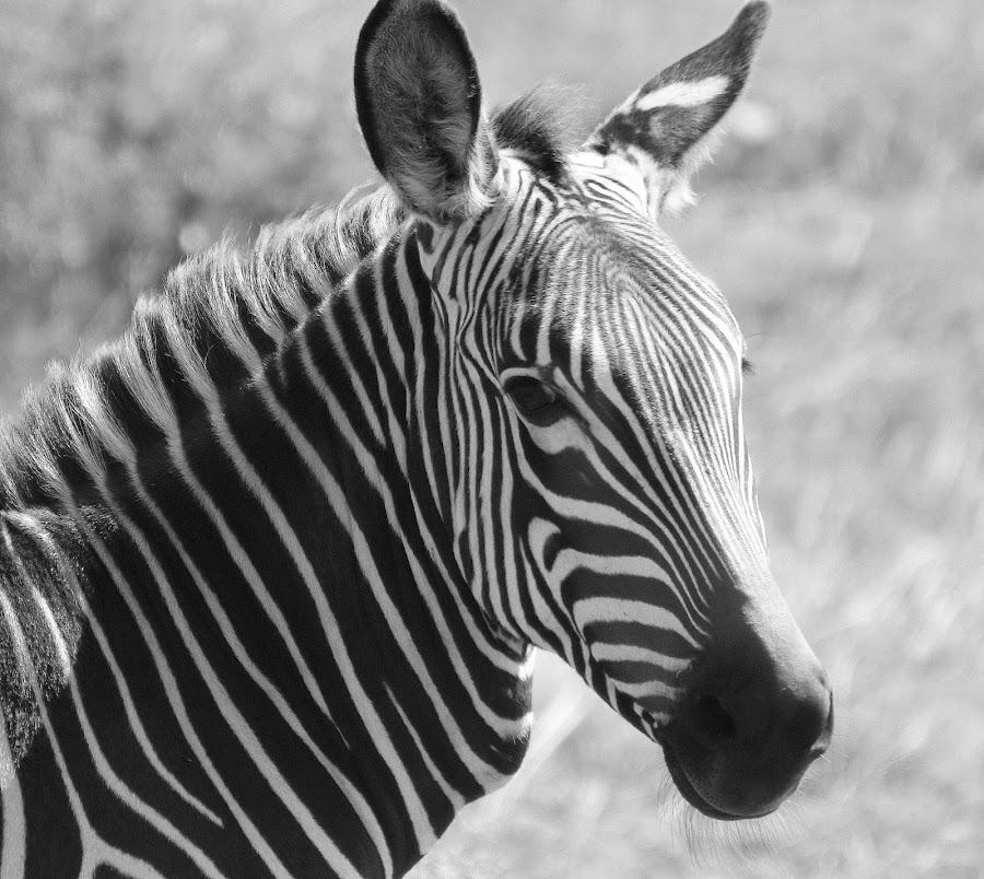 by Fanie van Vuuren - Black & White Animals