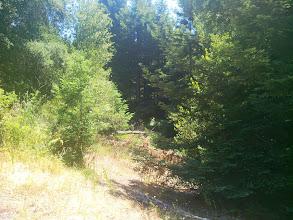 Photo: Redwood saplings