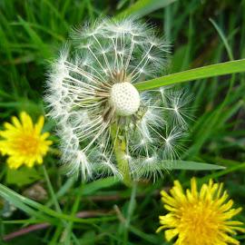 In the meadow by Helena Moravusova - Flowers Flowers in the Wild ( dandelions, flower )