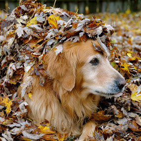 Autumn Gold by Sandra Updyke - Animals - Dogs Portraits ( autumn leaves, fall colors, toby, dog, golden retriever,  )
