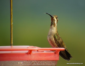 Photo: Plain-capped Starthroat; Rancho Primavera, near Tuito, Jalisco