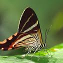 Erateina Moth