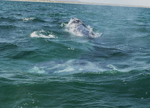 Photo: First grey whale sightings.