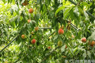 Photo: 拍攝地點: 梅峰-桃花廊 拍攝植物: 水蜜桃 拍攝日期: 2014_07_04_FY