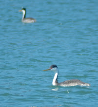 Photo: 140. Here's a Western grebe, with its cool bright red eyes. We saw quite a few of these.