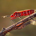 Indian Cotton Stainer Bug