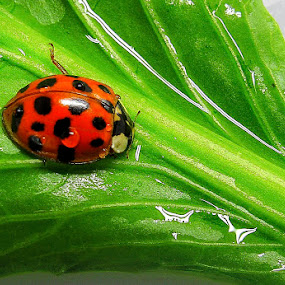 Ladybug on my salad by Ringo Lee - Animals Insects & Spiders