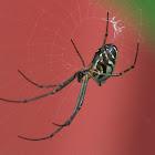 Horizontal Orbweb Spider