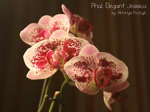 Photo: Phal. Elegant Jessica