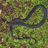 Ring-necked Coffee Snake