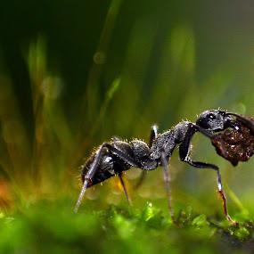 Black beauty.. by Ramesh Kallampilly - Animals Insects & Spiders ( macro, nature, green, ant, black,  )