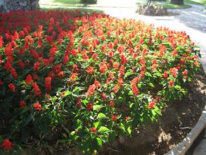 Photo: Salvia in Corfu