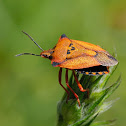 Chinche (Red shield bug)