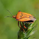 Chinche (Red shield bug)