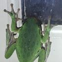 Barking Tree Frog?