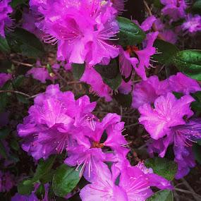 #purpleblooms by Tammy Pressley - Uncategorized All Uncategorized ( purple, blooms, beautiful, flowers, spring,  )