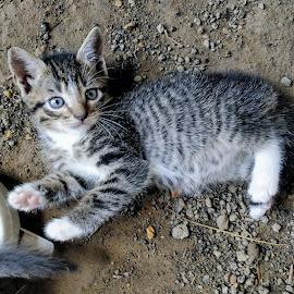 Stargazer by Stacey Witherwax - Animals - Cats Kittens ( kitten, cat )