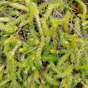 Northern Bog Clubmoss