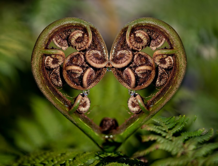 Heart fern by Adriaan Vlok - Nature Up Close Other plants ( garden fern, fern, heart fern, fern droplet )