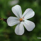 Herb Robert (White)