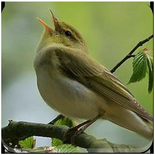 Masteran Burung Lengkap
