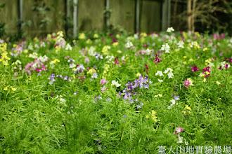 Photo: 拍攝地點: 梅峰-溫帶花卉區 拍攝植物: 柳穿魚 拍攝日期: 2014_12_17_FY