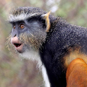 by Mike Vaughn - Animals Other Mammals ( wolf's guenon )