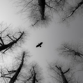 Alfred Hitchcock - The Birds(1963) by Zvonimir Drolc - Animals Birds ( bird, sky, nature, black and white, bw, trees )