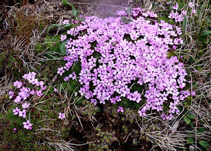 Photo: These flowers were less than one half inch across and very low to the ground.  They were my first wild flowers.