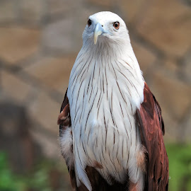 Eagle by Koh Chip Whye - Animals Birds