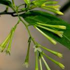 night-blooming jasmine,