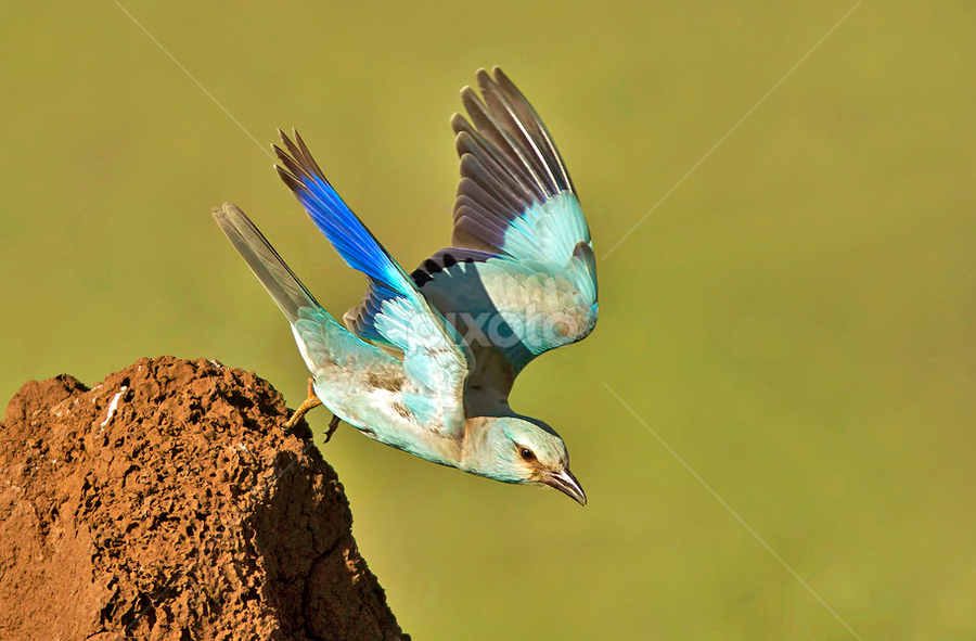 EUROPEAN ROLLER by Subramanniyan Mani - Animals Birds