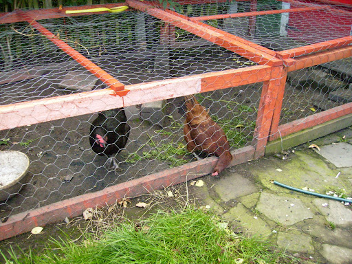 chickens in run
