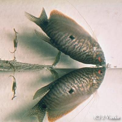 Trichogaster trichopterus, Wildform