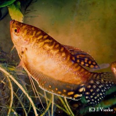 Goldener Fadenfisch - Zuchtform des Trichogaster trichopterus