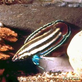 Prachtgurami - Parosphromenus alfredi