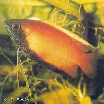 Honigfadenfisch Colisa chuna, Männchen