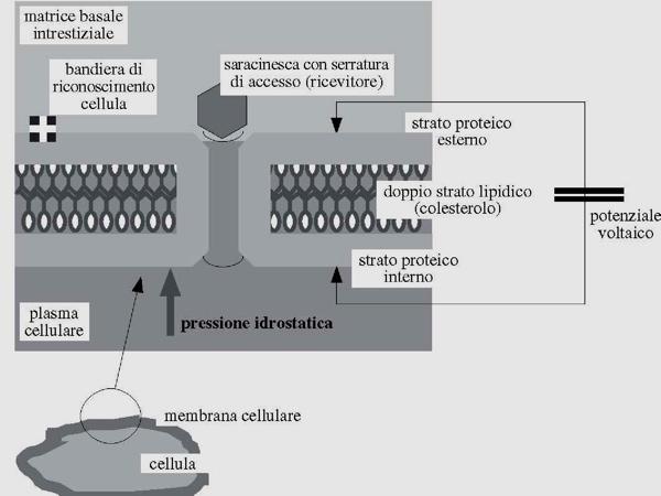 Funzionamento membrana cellulare