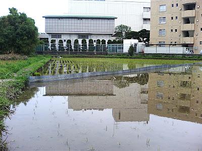 campo de arroz plantado — 田植えされた田んぼ — Planted rice field