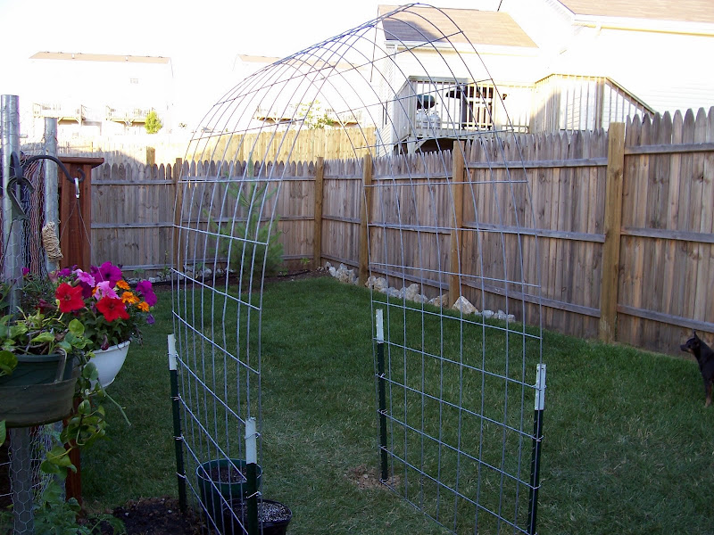 Built my first cattle panel arch trellis today!