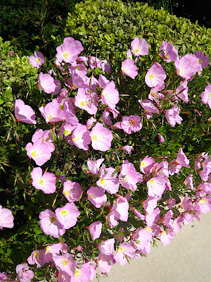 Pink poppy like flower mightylinksfo