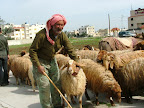 shepherd on the road to Um Quais & Jerash