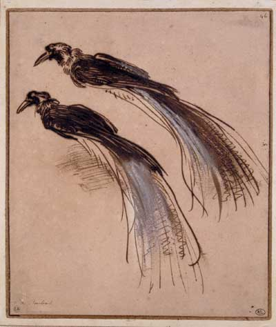 rembrandt, paradijsvogels