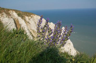 Bugle plant - Beachy Head