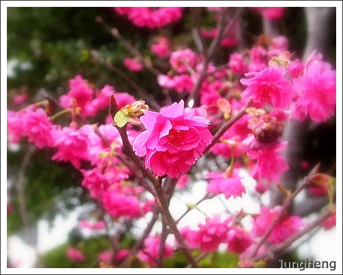 海事博物館旁的櫻花