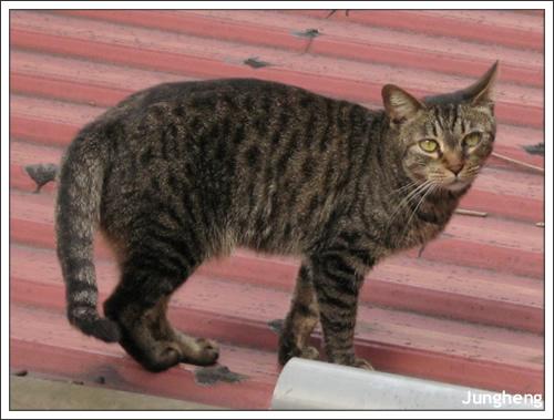 走過屋頂的貓