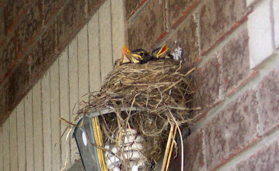 Baby Birds in the nest
