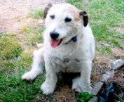 George, a 9-year-old Jack Russell terrier, fought off two pit bulls, saving five children.