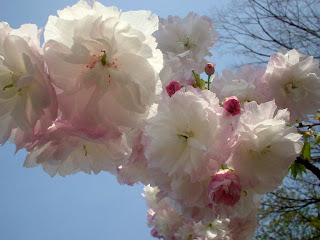 手前桜公園の八重桜