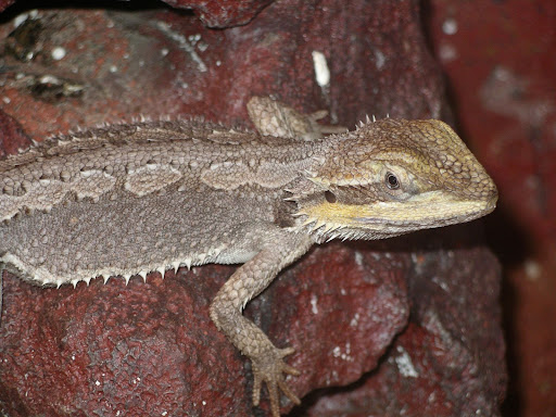 Dwarf Bearded Dragon - Pogona minor minor